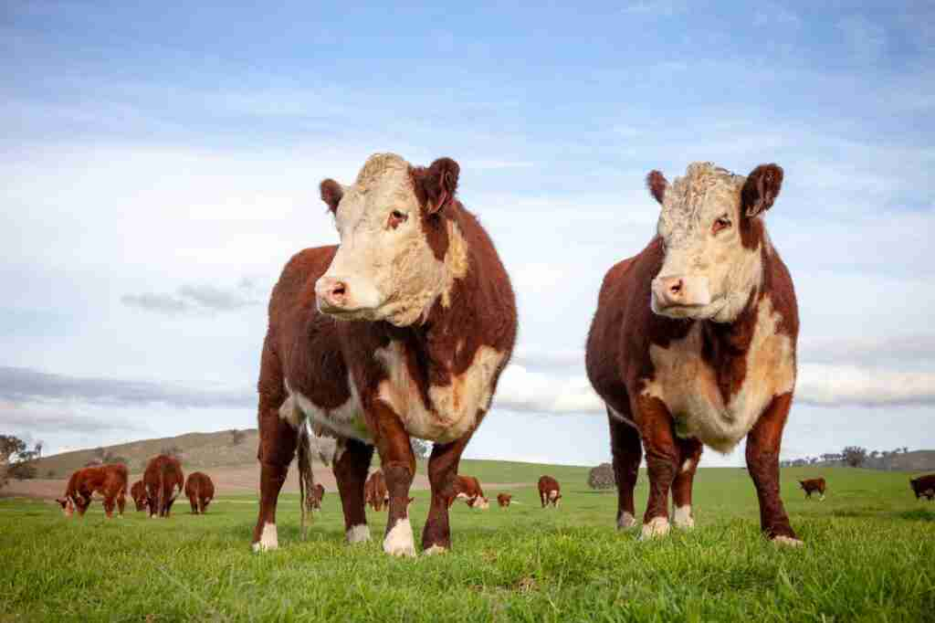 Wirruna Poll Herefords Cattle